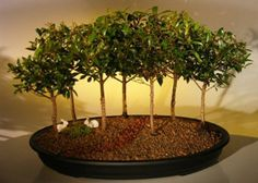 Also called Australian Brush Cherry. Has small handsome evergreen leaves (great for bonsai) which are firm and glossy and the flowers are puffy white. If it receives enough light, the leaves will develop red highlights.
