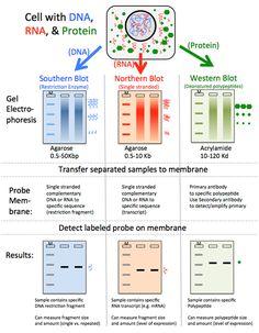 DNA-Analyse: Blotting und Hybridisierung – Biology LibreTexts - New Sites Study Biology, Biology Lessons, Cell Biology, Teaching Biology, Science Biology, Life Science, Computer Science, Science Nature, Dna Genetics
