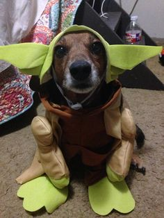 Gizmo the dachshund dressed as Yoda