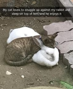 My cat loves to snuggle up against my rabbit and sleep on top of him, and he enjoys it Cute Funny Animals, Cute Cats, Funny Animal Pictures, Funny Cats, Baby Animals, Animals And Pets, Unusual Animal Friendships, I Love Cats, Crazy Cats