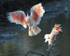 Cockatoos in Australia
