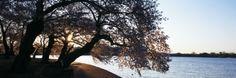 Cherry Blossoms at the Riverbank at Sunrise, Tidal Basin, Potomac River, Washington DC, USA