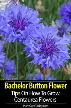 Garden Landscaping Borders Bachelor Button, Cornflowers: How To Grow Centaurea Flowers Bachelor Button Flowers, Bachelor Buttons, Purple Garden, Shade Garden, Growing Flowers, Planting Flowers, Flowers Garden, Flowering Plants, Spring Flowers