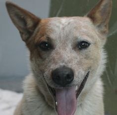 *WOODY - ID#A765784  Shelter staff named me WOODY.  I am a male, red merle Queensland Heeler.  The shelter staff think I am about 9 months o...