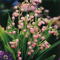 ❥ pink lily of the valley