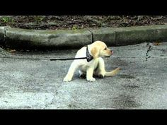 How to train Puppy to walk on a leash-puppies that stop and are scared or stubborn - YouTube
