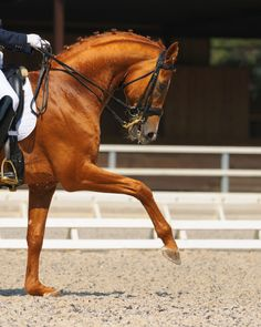 Photo about Dressage: portrait of sorrel horse on nature background. Image of nature, training, sport - 20167397 Dressage Horses, Thoroughbred Horse, Horse Spirit Animal, Western Horse Riding, Horse Dance, Horse Breeds, Horse Love, Animals Beautiful, Equestrian