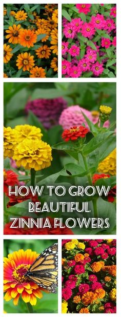 All You Need To Know About Growing Beautiful Zinnias