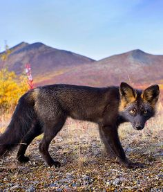 This animal is so elusive that it usually runs away upon any human encounter. However, this particular and stunning silver fox showed no fear of Sailor and his camera, staring right into the lens.