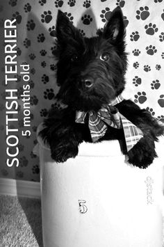 Scottish Terrier Scottish Terrier, Cairn Terrier, Cute Animal Pictures, Rainbow Bridge, Westies, Dog Love, Cute Dogs, New Baby Products, Cute Animals