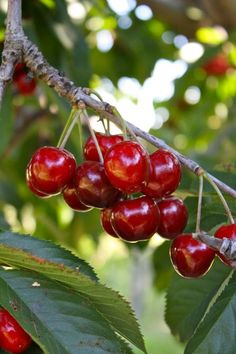 Cherries contain anthocyanins, the red pigment in berries. Cherry anthocyanins have been shown to reduce pain and inflammation in rats. Anthocyanins are also potent antioxidants under active research for a variety of potential health benefits.   http://naturalhealthcare.ca/herbology_101.phtml?herb=Cherry