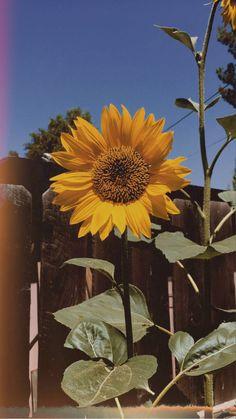 Sunflower Iphone Wallpaper, Iphone Wallpaper Fall, Flower Phone Wallpaper, Cute Wallpaper Backgrounds, Aesthetic Iphone Wallpaper, Aesthetic Wallpapers, Vintage Flowers Wallpaper, Beautiful Flowers Wallpapers, Sky Aesthetic