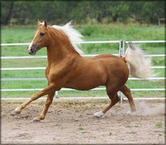 Tennessee Walking Horse - Walkers West - at Stud, SHOWDOWN AT SUNRISE #20212398 is for sale