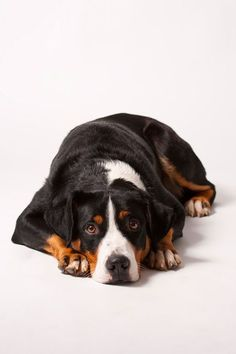 Appenzeller Sennenhund - Have one of these cuties! :D