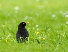 Common Blackbird by Tord Andreasson on 500px
