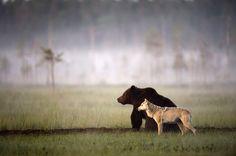 Im Norden Finnlands stieß Fotograf Lassi Rautiainen auf ein ungewöhnliches Gespann aus Braunbär und Wolf. (Foto: hgm-press)