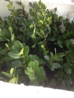 Stiklingerne af buskbum står også pænt grønt endnu, er spændt på om de har lavet rødder.