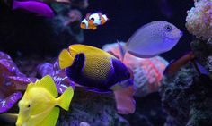 goby fish saltwater | ... are specially designed and tested for our hand picked salt water fish