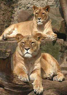 Two Lion Queens