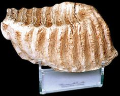 """Mammoth Tooth : Finish: Antique Aged finish Dimensions: 9"""" (23 cm)"""