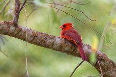 Resting Rojo Cardenal by George Bloise, via 500px