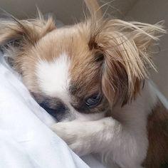 いいね!74件、コメント4件 ― Steve the Dog NYCさん(@stevethedognyc)のInstagramアカウント: 「It's so bright out there.... please let me sleep! #cutepuppy #goodmorning #letmesleep #dreamland」