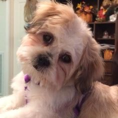 One of my Lhasa Apso Puppies!