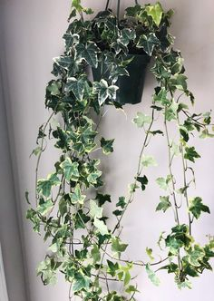 Outdoor Flowers, Outdoor Plants, Growing Flowers, Planting Flowers, English Ivy Indoor, Hedera Helix, Time And Weather, Apartment Plants, Plastic Pots
