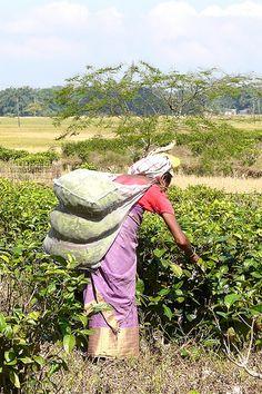 Assam Picking Tea Leaves