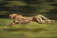 I am a cheetah and I am running late.