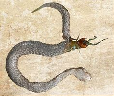 Centipede Dies Eating Way Out of Snake Belly. GROSS!