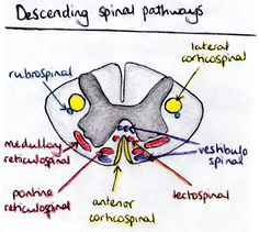 Descending tracts in the spinal cord.