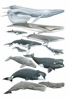 Larger Arctic Cetaceans by Marc Dando