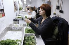Be careful! Breathing in plant powder, dust or resin could cause pneumoconiosis or pulmonary fibrosis . . .  http://news.yahoo.com/colorado-girds-first-ever-retail-marijuana-sales-39-010521900.html