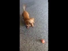 Wiener dog plays fetch and works on his 'bad tosses'. - Real Funny