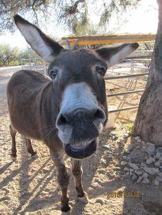 Courtesy: Forever Home Donkey Rescue. Donkey Rescue, Donkey Donkey, Cute Donkey, Mini Donkey, Farm Animals, Animals And Pets, Funny Animals, Cute Animals, Wild Animals