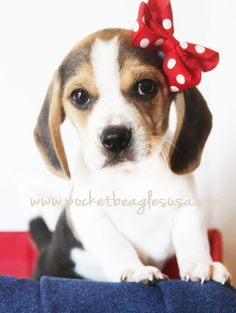 www.pocketbeagles... Small Pocket Size beagles Tiny Beagles, Beagles, Cute Puppy, Texas Puppy
