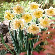 Narcissus Girlpower 12/14 - 10 flower bulbs buy online order now
