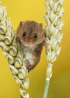 Lie back and appreciate the pureness of these adorable little harvest mice hanging out on some Tulips. Tame Animals, Animals And Pets, Funny Animals, Adorable Animals, Harvest Mouse, Wild Dogs, Primates, Cute Gif, Amazing Nature
