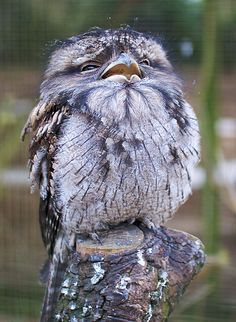 Tawny Frogmouth Owl - OMG!