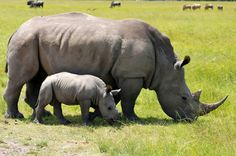 Rhino killed in Kariega Game Reserve near Kenton-on-Sea in the Eastern Cape because of useless Chinese medicine. 310 rhinos killed in 2010