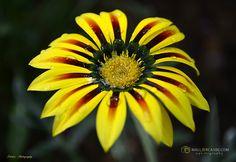Gazania rigens se cultiva por el color brillante de sus flores que aparecen a finales de la primavera y principios del verano. Las plantas prefieren un lugar soleado y son tolerantes de la sequedad y los suelos pobres Chrysanthemum, Plants, Color, Summer Plants, Vegetable Gardening, Growing Up, Naturaleza, Flowers, Finals