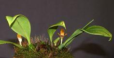 Bulbophyllum lineolatum