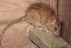 The Roof Rat. As the name implies, this rat prefers to dwell in upper areas in and around buildings.