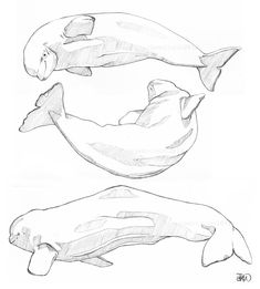 Beluga sketches by odontocete on DeviantArt Whale Sketch, Whale Drawing, Whale Illustration, Ink Illustrations, Animal Sketches, Animal Drawings, Whale Tattoos, Cartoon Fish, Nature Sketch