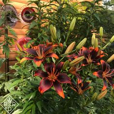Want some drama in the summer garden? Why don't you plant some lilies this year? You say you're scared of lilies? Though they look exotic, lilies are pretty Read Lily Beetle, Trumpet Lily, Lily Bulbs, Oriental Lily, Asiatic Lilies, Sandy Soil, Clay Soil, Organic Matter, Day Lilies
