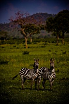 See Zebras on a Safari African Animals, African Safari, Scenery Photography, Animal Photography, Animal Pictures, Cool Pictures, Cute Animals, Unique Animals, Wild Animals