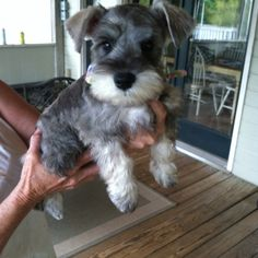 How could you love any little dog more! Mini Schnauzers.. they are the absolute best dogs. This one looks just like my furry son Freddie when he was a baby over 12 years ago! Sorry, sentimental mom moment.