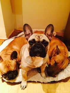 Frenchie life, French Bulldogs ❤🐾