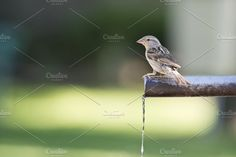 Sparrow drinking water. Photos Sparrow drinking fresh water from a fountain tube by Angel Simon Photography